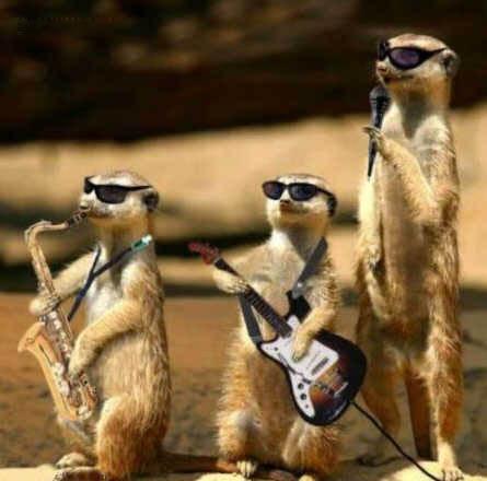 meerkat band.jpg